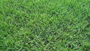 Improved Bermudagrass